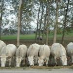 l'allevamento semibrado di bovini di razza piemontese